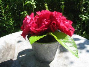 photo de pot aux roses