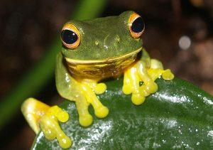 Photographie d'une grenouille aux pattes jaunes