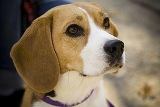 photo d'une tête de beagle
