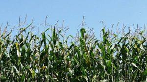 photographie en gros plan d'un champ de maïs