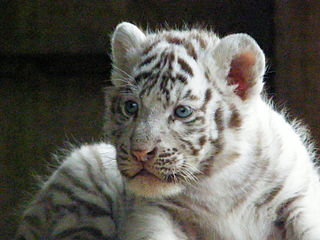 photo de bébé tigre