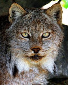 photographie d'une tête de lynx