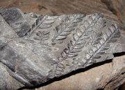 phot de schistes carbonifères avec empreintes de feuilles
