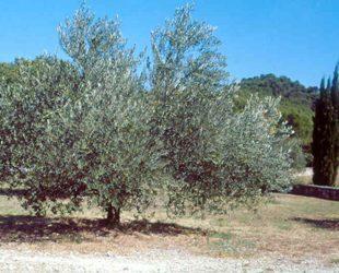 champs avec un olivier