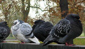 trois pigeons hérissant leurs plumes