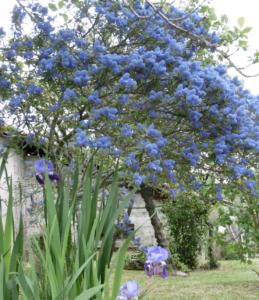 arbuste céanothe dans un jardin