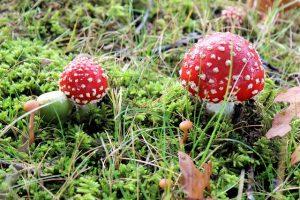 Photographie de champignons rouges à pois