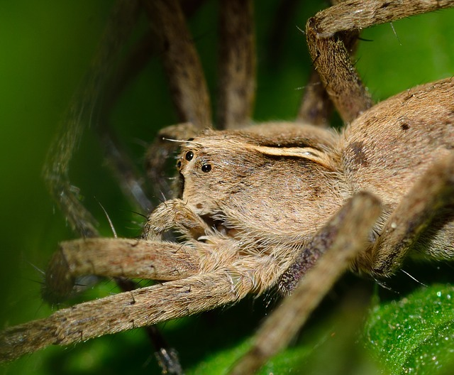 gros plan d'une araignée beige et velue