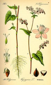 planche de botanique représentant du sarrasin