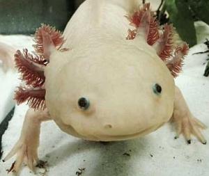 Gros plan sur un axolotl dans un aquarium