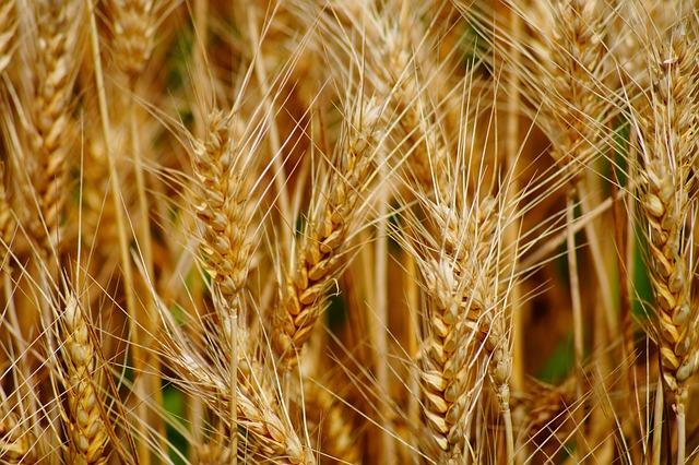 Gros plan d'un champ de blé