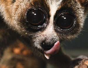 Photographie d'un loris paresseux (Nycticebus coucang) dispose d'une langue et d'une structure « sublinguale »