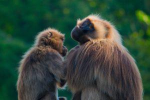 Primates au NaturZoo Rheine, Allemagne.