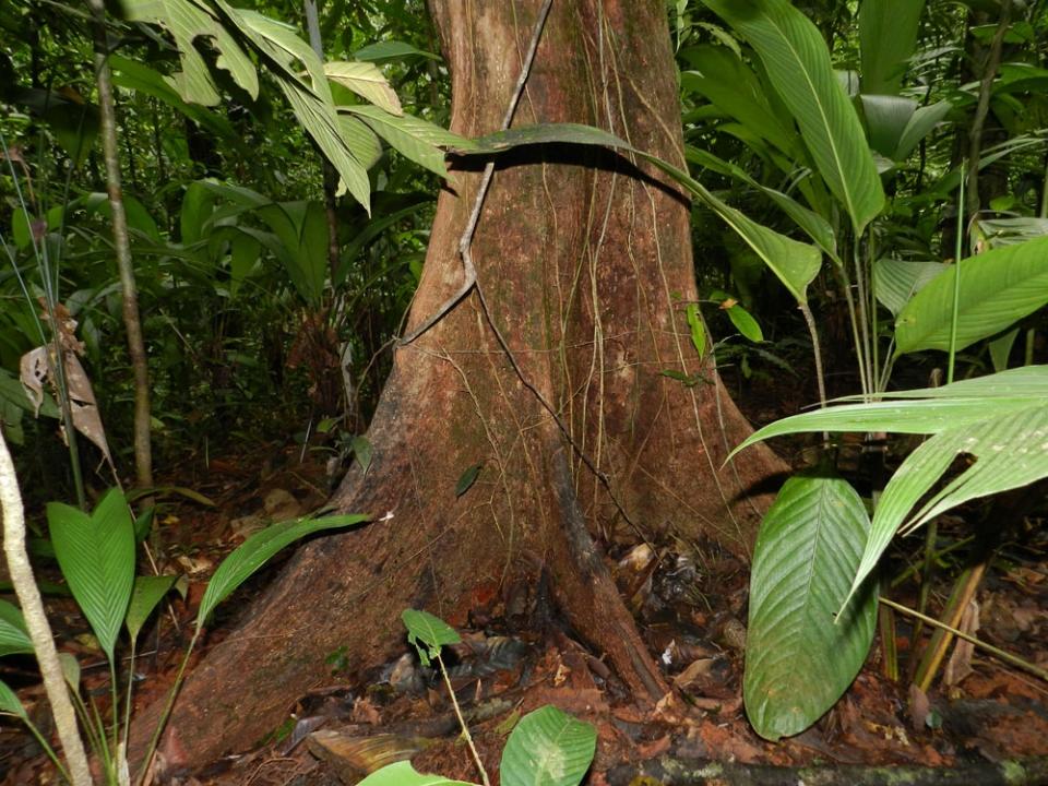 Tronc d'arbre de Guyane