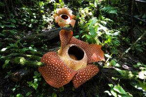 Rafflesia arnoldii : la plus grosse fleur du monde