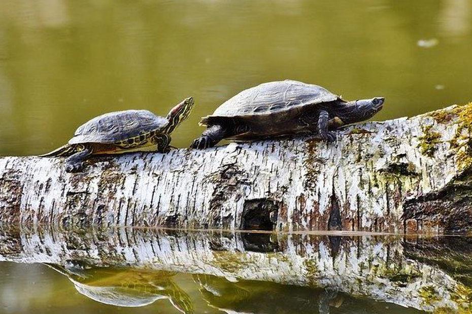 2 tortues marchant sur un tronc d'arbre