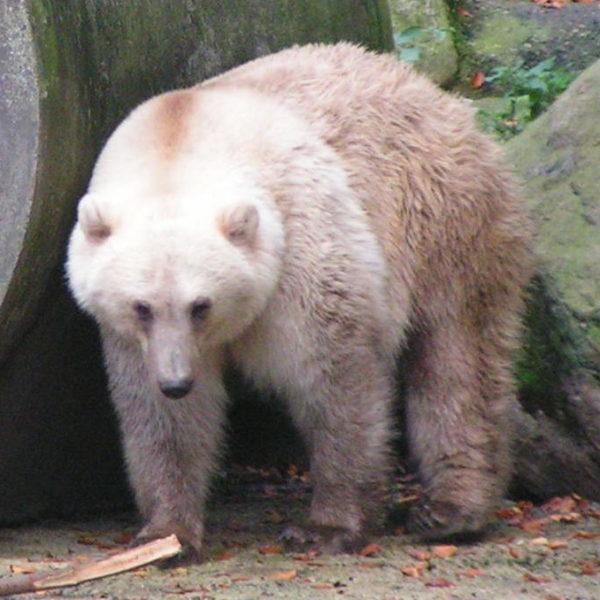 Zoologie : je cherche des informations sur une «nouvelle» espèce d'ours.