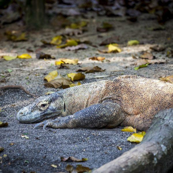 Zoologie : le dragon de Komodo existe-t-il réellement ?