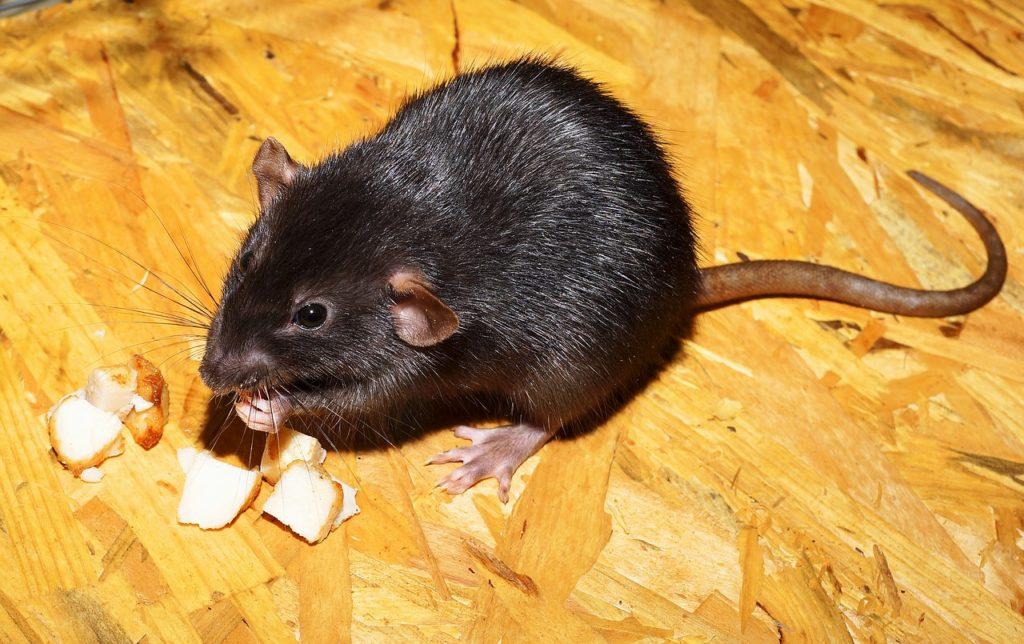 rat qui mamge des morceaux de fromage