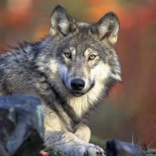 Loup gris couché