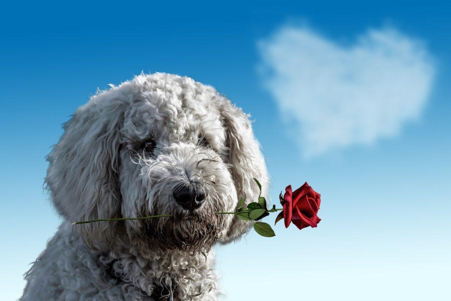Chien de race caniche tenant une rose rouge dans sa gueule