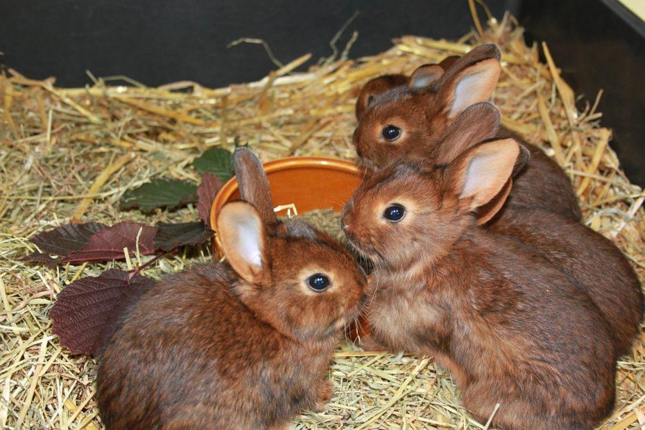 5 bébés lapins (lapereaux) sur la paille autour de leur gamelle