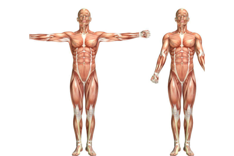 Anatomie du corps humain masculin