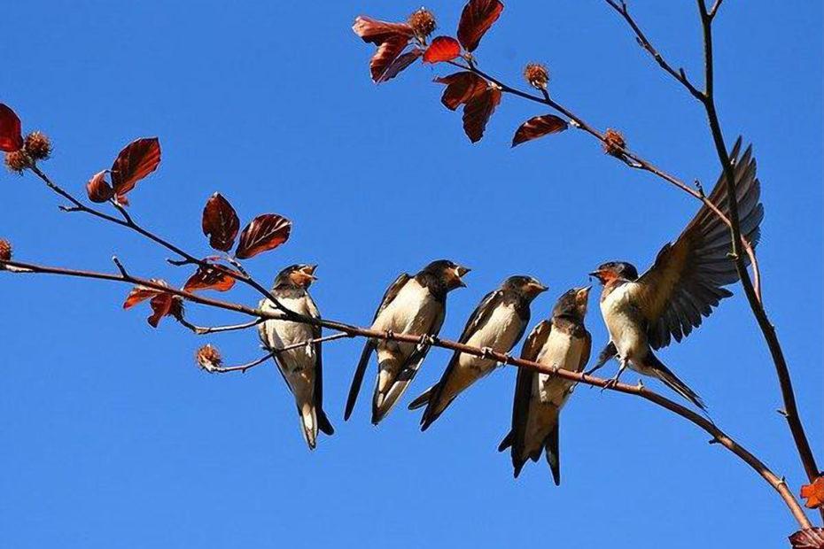 5 hirondelles sur une branche
