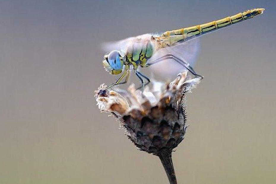 libellule sur une fleur