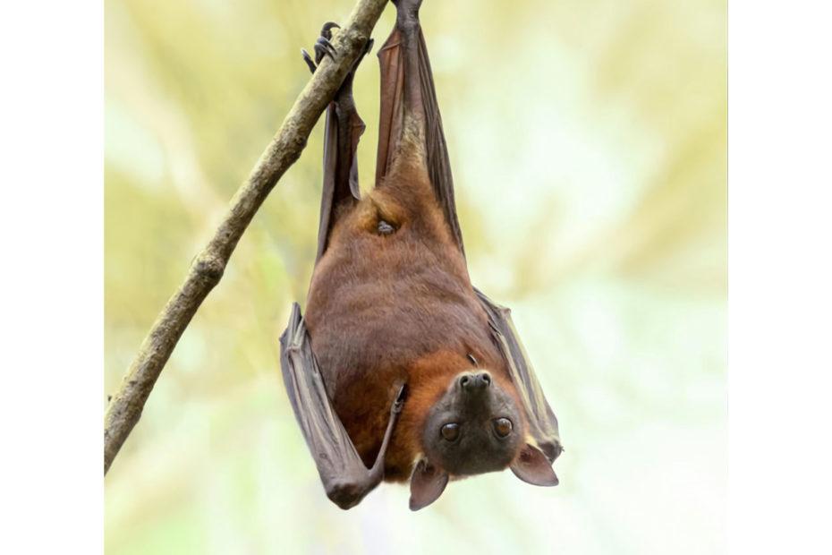 Photographie de chauve-souris agrippée tête en bas à une branche