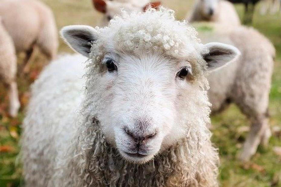 Mouton en gros plan