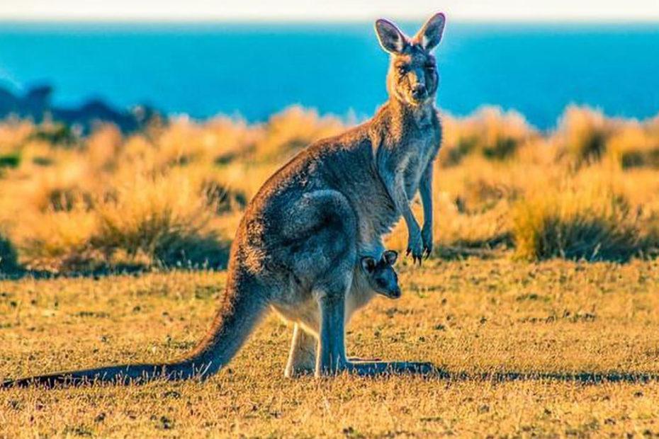 Femelle kangourou avec son bébé dans sa poche ventrale. Photo prise en Australie.