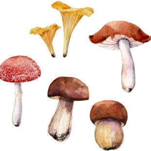 Mycologie : Je cherche de la documentation sur les champignons comestibles.